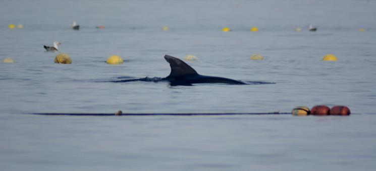 Delfín mular en la almadraba (P. García/ANSE)