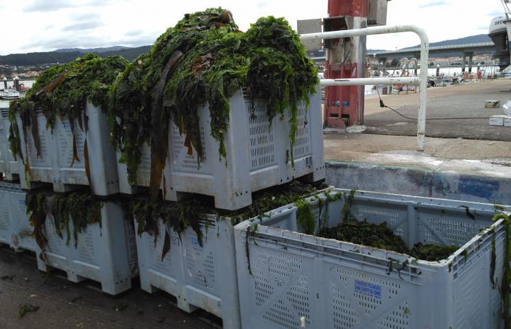 Algas descargadas tras retirada en barco